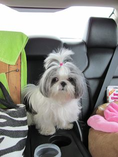 Silver and white shih tzu sweet little Camilla Claire jpg