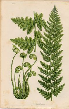 Antique Print of a Fern--I've always liked this as a tattoo idea
