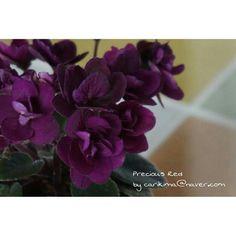 African Violet - Precious Red   #Africanvioler  #Precious_ Red