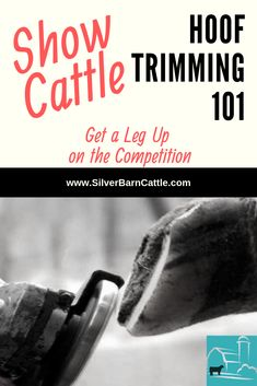 Does your show calf need a trim job? Hoof trimming helps ensure your calf stays healthy and sound during its show season. Learn more about hoof trimming and its importance. Livestock Judging, Showing Livestock, Showing Cattle, Show Cattle Barn, Show Cows, Show Steers, Hereford Cattle, Raising Cattle