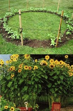 SUNFLOWER HOUSE Buy super tall sunflower seeds in bulk, Set up a 'room' with an entrance, Let them grow.