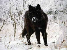 melanistic (black) wolf melanism is the opposite of albinism very interesting Tamaskan Dog, Tier Wallpaper, Wolf Wallpaper, Forest Wallpaper, Wallpaper Ideas, Wolf Love, Black Animals, Cute Animals, Wolf Spirit