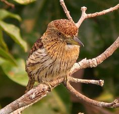 The Striolated Puffbird (Nystalus striolatus) is a species of puffbird in the Bucconidae family. It is found in Brazil in the southwestern Amazon Basin and the bordering countries of Peru and Bolivia. A disjunct population lives to the west in a narrow region in central Ecuador and northwestern Peru.