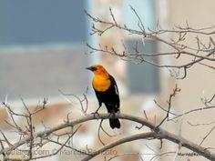 O pássaro da cabeça amarela