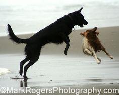 Ft Funston, Fur Flying #2. Labrador Retriever and Australian Shepherd Mark Rogers Photography