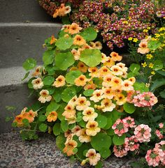 <3 Nasturtium .. Vesuvius has smaller leaves and holds the blooms above the foliage.