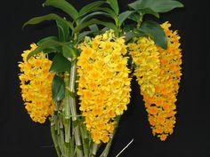 Orquídeas Dendrobium densiflorum                                                                                                                                                                                 Mais