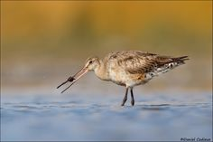 Leech vs Hudsonian Godwit - The leech put up a valiant effort, but in the end it was no match to the mighty godwit...  Ottawa, Canada