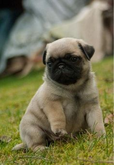 Pug puppy in the grass