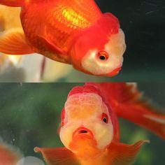 【goldfish_angel33】さんのInstagramをピンしています。 《Rossana  名前決まりました。 ロザーナちゃん。ドイツ語でポケモンのルージュラを表します😆 または大好きな尾崎豊の名曲のタイトルでもあります(*´∀`*) みなさんよろしくね❤️ #金魚 #水槽 #アクアリウム  #goldfish #goldfishunion #goldfishtank #aquarium #goldfishofinstagram #watertank #goldfishlover #instagoldfish #goldfishinstagram #goldfishjunkie #fancygoldfish #goldfishcommunity #goldfishkeepers #fancygoldfishkeeping #オランダ獅子頭 #飯田産》