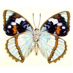 Species: Apatura (Mimathyma) schrenckii Interesting Traits: Amazing colors & Markings Native Origin: Korea Frame Size: 6 1/2″x6 1/2″ Frame Color: black Wood Frame: Finest Handmade …