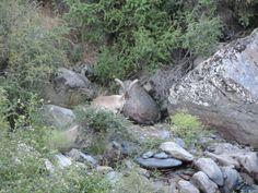 Macho montes en el rio Real, Sierra Nevada
