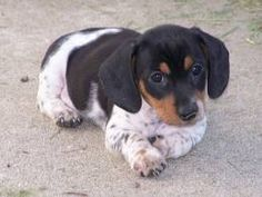Piebald dachshund.  I'm so in love with it!...I think this is what Baby probably looked like when she was a puppy.