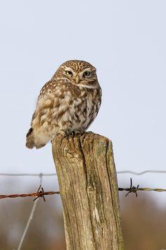 """""""waiting"""" by Mark Bridger   500px. Little owl (Athene noctua)"""