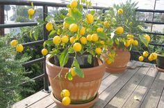 A természetben az a csodálatos, hogy egy apró kis magból egy hatalmas fa fejlődhet ki. Ha imádjuk a citromot, és szeretnénk a nappaliban egy gyönyörű citromfát, egyszerűen ültessünk el egy citrom magot, majd legyünk türelmesek, és gondoskodjunk csemeténkről, ha megfogant. A fa egyből nem fog teremni, évekig csak virágzik majd, de kitartás! Grapefruittal is kísérletezhetünk, […]