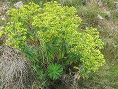 Euphorbia characias L. - Euphorbiaceae - Euforbia cespugliosa
