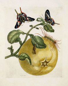 Prints by Maria Sibylla Merian. From Dissertatio de Generatione et Metamorphasibus Insectorum Surinamensium. The Hague: Gosse, Folio, on sheets 18 x Engravings by J. Mulder, P. Sluyter and D. Illustration Botanique, Botanical Illustration, Antique Prints, Vintage Prints, Sibylla Merian, Vegetable Prints, Insect Art, Fauna, Gravure