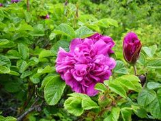 Róże polecane na konfitury - edible roses