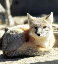 Swift Fox | Vulpes velox swift fox. Captive specimen, Fort Worth Zoo.