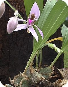 Ancistrochilus: een vrij zeldzame Afrikaanse orchidee