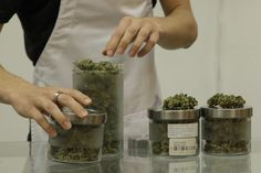 Medical Marijuana Dispensaries Employees May Recommend the Wrong Cannabis Strains For You