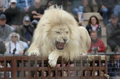 """petitie: Stop Forcing Lions, Tigers and Other Animals from Participating in """"Gladiator"""" Shows! Post Animal, My Animal, World Animal Protection, Elephants Playing, Animal Rights Groups, Play Fighting, Stop Animal Cruelty, Cute Animal Pictures"""