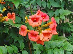 ホーム ガーデン Home Garden - Phlox 宿根草 - コミュニティ - Google+