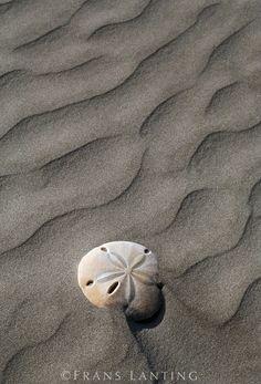 Sand dollar, Cedros Island, Baja California, Mexico © Frans Lanting