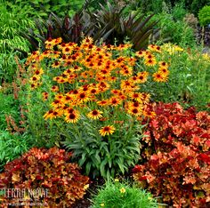 """Echinacea 'Flame Thrower' - This reliable rebloomer has 3 ½"""", two-toned orange and yellow flowers that are hot, hot, hot! Add to this, a well-branched habit and you've got a great choice for the middle of the border or along a fence line. Here's a fragrant choice that is easy to grow and blooms all summer. One of the earliest of the coneflowers to bloom for us in Oregon."""
