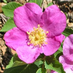 """Wild Rose / Rosa canina  """"Those who without apparently sufficient reason become resigned to all that happens, and just glide through life, take its as it is, without any effort to improve things and find some joy. They have surrendered to the struggle of life without complaint."""" - Dr. Edward Bach"""