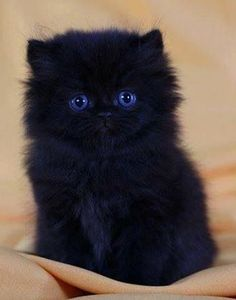 This cat's piercing blue eyes only add to it's cuteness!