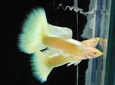 Types of Guppies - The guppy (Poecilia reticulata), also known as millionfish and rainbow fish, is one of the world's most widely distributed tropical fish, and one of the most popular freshwater aquarium fish species. Betta Aquarium, Tropical Fish Aquarium, Freshwater Aquarium Fish, Guppy, Sea Fish, Fish Ocean, Fish Fish, Beautiful Tropical Fish, Rainbow Fish