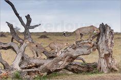 Mein Poster des Tages:   Ingo Gerlach - Die drei Gepardenbrüder