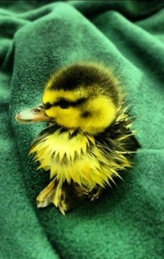 Duckling - He's so cute and I have no where to put on my pin boards!