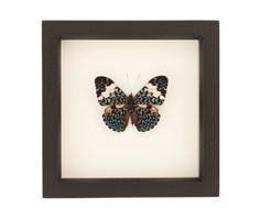 framed-butterfly-hamadryas-amphinome