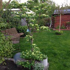 Mein Garten Cornus Venus