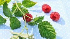 Čas od času by každá žena měla pít čaj z listů maliníku. Flora, Strawberry, Vegetables, Fruit, Fitness, Plants, Strawberry Fruit, Vegetable Recipes, Strawberries