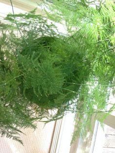 Asparagus setaceus - Aspargo-samambaia - Blog Arco do Verde