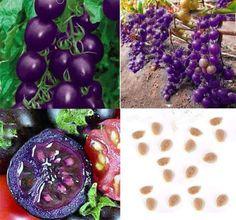 100 purple cherry tomatoe seeds balcony fruits vegetables bonsai plant