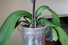 haldokló orchidea meggyógyítása Hanging Orchid, Diy Hanging, Hydroponic Plants, Hydroponics, Gerbera, Fast Growing, Gardening Tips, Orchids, Planter Pots