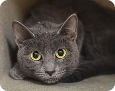 Bernadette - URGENT - Animal Care & Control Team of Philadephia in Philadelphia, Pennsylvania - ADOPT OR FOSTER - 1 year old, 6lb., Spayed Female Domestic Shorthair - She was found abandoned in a house and is missing the home life she was accustomed to living. Bernie has a pretty charcoal grey coat and the prettiest eyes and while she's a bit nervous in the scary shelter is also as sweet as can be and loves attention.