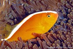 Common Name: Orange Skunk Clownfish Scientific Name: Amphiprion akallopisos Size: 4 inches Diet: Frozen foods, flake foods, brine shrimp. Brine Shrimp, Tropical Fish, Habitats, Clownfish, Anemones, Orange, Coral, Animals, Life