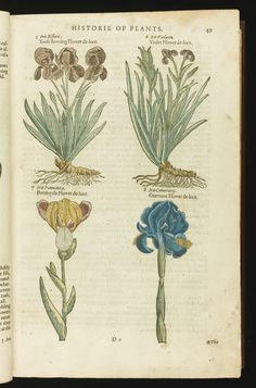Gerard, John THE HERBALL OR GENERALL HISTORIE OF PLANTES. LONDON: JOHN NORTON, 1597
