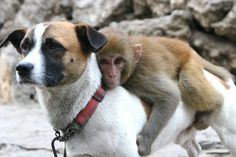 An orphaned monkey goes for a ride on his his adopted father, Tiger Cup the dog.