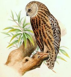 Laughing Owl Extinct in 1914