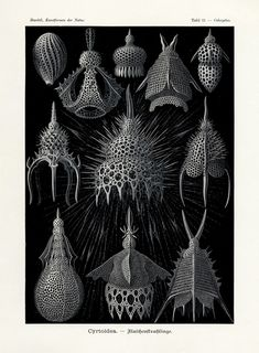 Illustration Painting / Ernst Haeckel, Table 31 Cyrtoidea, from Kunstformen der Natur (Art Forms of Nature) Botanical Illustration, Illustration Art, Antique Illustration, Art Illustrations, Ernst Haeckel Art, Architecture Art Nouveau, Architecture Sketches, Natural Form Art, Natural Shapes