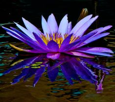 Water Lily 16