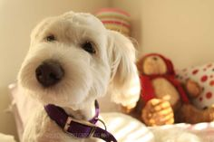 Types of goldendoodle haircuts - Goldendoodle puppy cut teddy bear cut round face