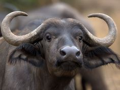 Female Buffalo in Kruger National Park. Animals With Horns, Animals And Pets, Cute Animals, Animal Bufalo, Wildlife Photography, Animal Photography, Regard Animal, Safari Photo, Buffalo Animal