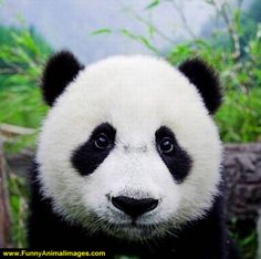 Funny Panda #5